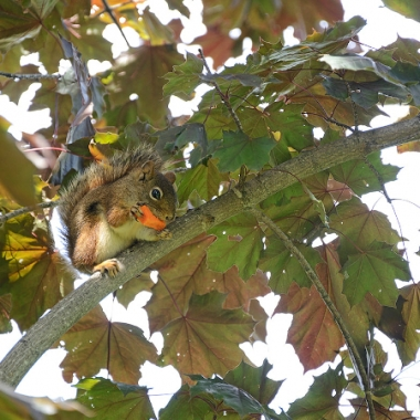 squirrel in tree, eating carrot, leaves, branch
